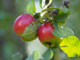 Kuva omenapuun oksasta